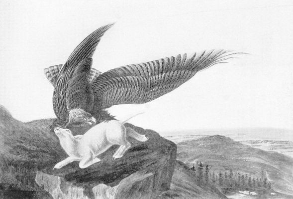 800px-Eagle_and_Lamb_-_James_Audubon.jpg